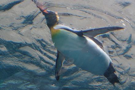 1810 旭川 旭山動物園 ペンギン02