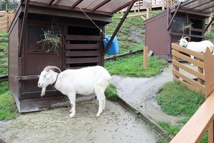 1810 旭川 旭山動物園 山羊と羊01