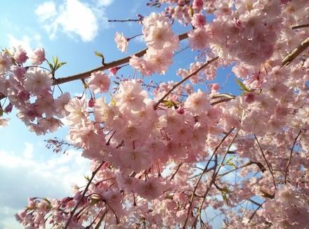 140405桜03