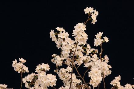 140329夜桜03