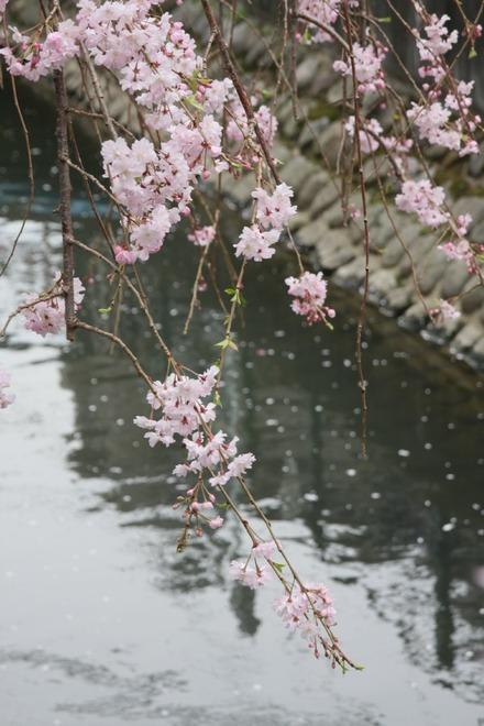 130323二ヶ領用水の桜 03