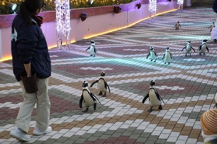 1712南紀白浜 アドベンチャーワールド ペンギンパレード02