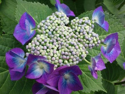 1206青い額紫陽花