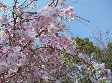 140409桜05
