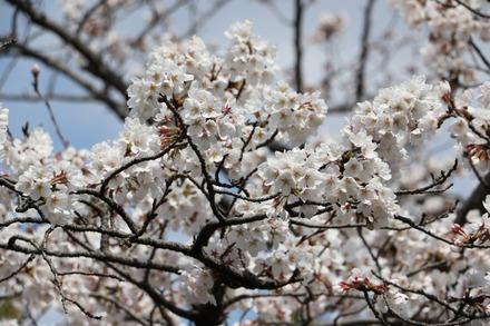 160327 西武ドームの桜02