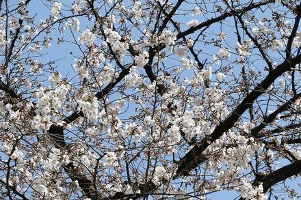 2003 近所の桜04