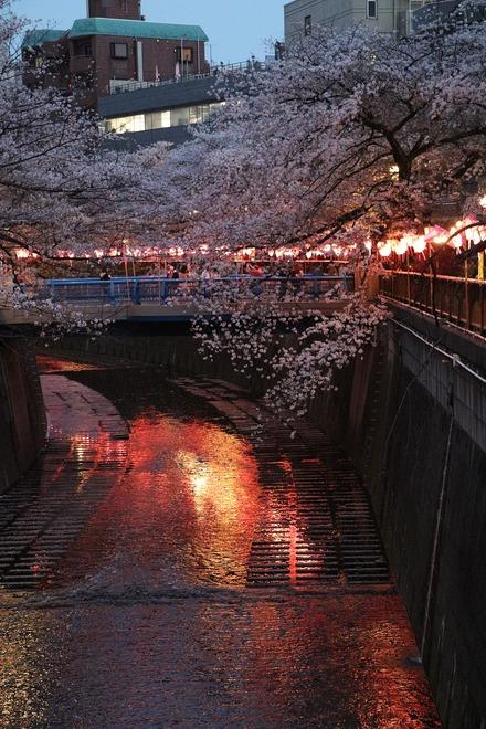 190407 目黒川桜祭り 夜桜02