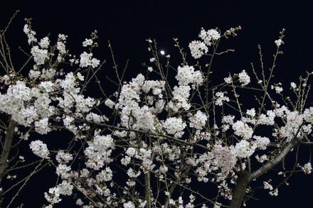 150328 夜桜03
