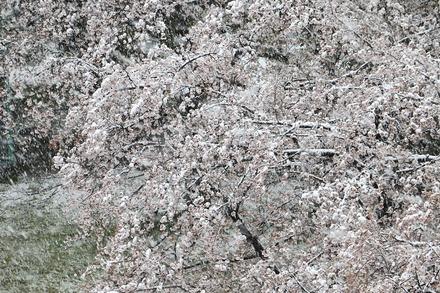20200329 雪桜01