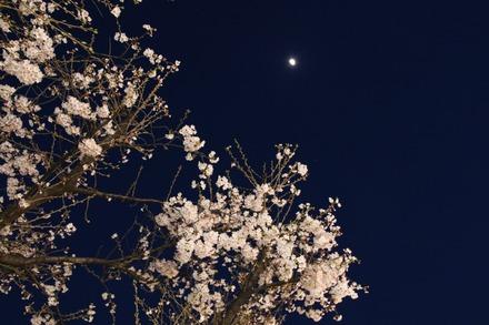 150328 夜桜01