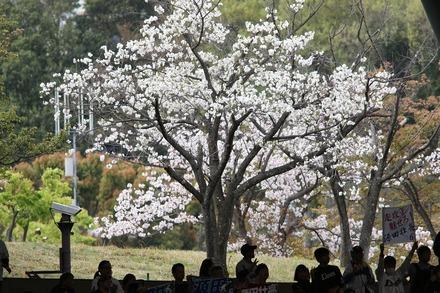 180407 vsオリックス レフト側の桜