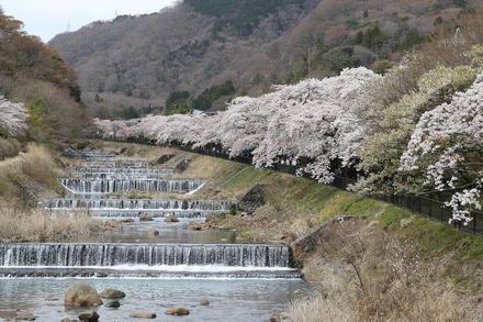 1904 箱根 宮城野桜まつり 03