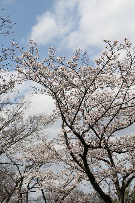 160327 西武ドームの桜01