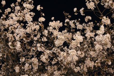 140329夜桜02