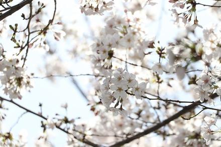 2003 近所の桜06
