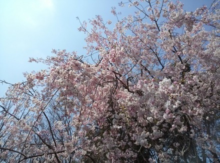 140409桜02