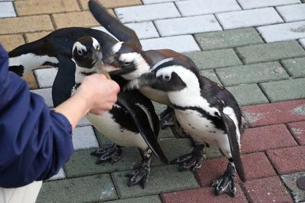 1712南紀白浜 アドベンチャーワールド ペンギンパレード03