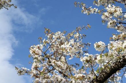 150415 vs楽天 桜