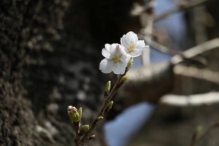 180324 vsDeNA 桜01