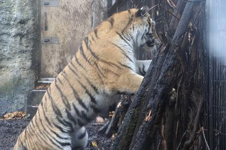 1810 旭川 旭山動物園 トラとライオン02