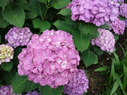 120611紫陽花