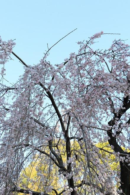 2003 上野恩賜公園の桜12