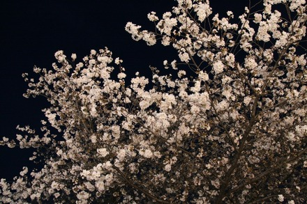 140329夜桜01