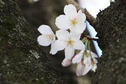 2003 近所の桜02