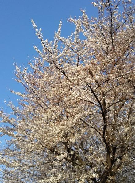 140405桜01