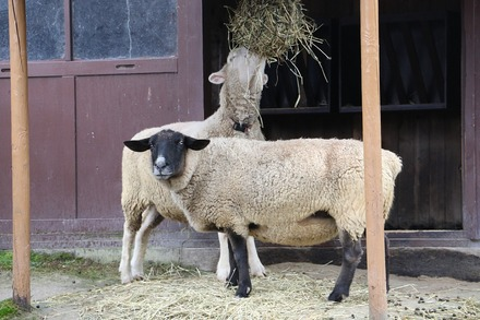 1810 旭川 旭山動物園 山羊と羊02