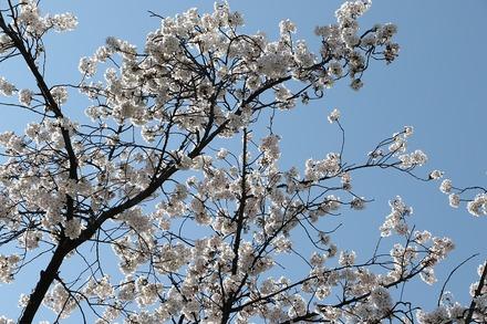 180325桜 02