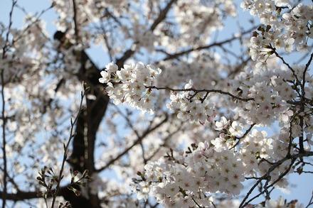 2003 近所の桜01