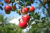 甘さも香りも絶品!かづのりんご