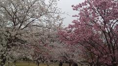 桜公園2013