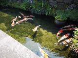 鯉の遊泳地
