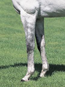 アドマイヤコジーン-脚