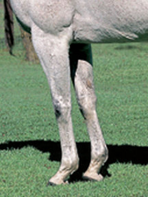 メジロマックイーン-脚