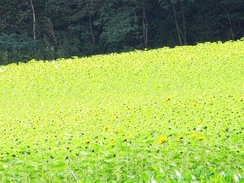 咲き始めのひまわり畑