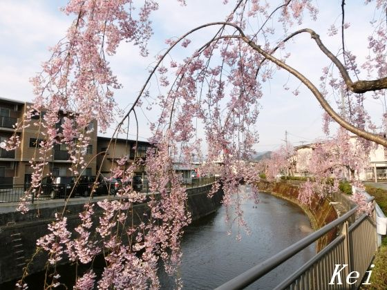 天童温泉・倉津川の枝垂れ桜(1)多嘉橋と、「天童桜まつり 人間 ...