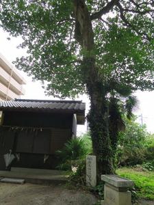 7社務所と御大典記念樹