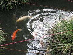13朝妻清水鯉池