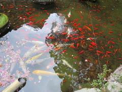 5鎮国寺池の紅鯉
