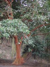 14依岳バクチの木