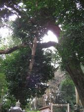14氏八幡大楠と藪椿