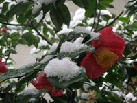 肥後椿と雪