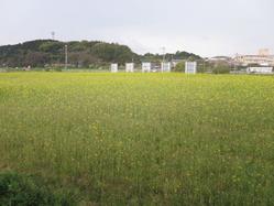 1西郷川花園菜の花