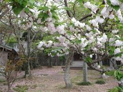 3朝町観音堂桜
