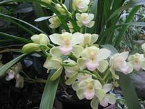 シンピジウム開花