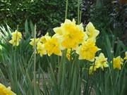八重咲水仙黄花