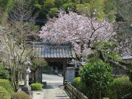 2清瀧寺門前桜
